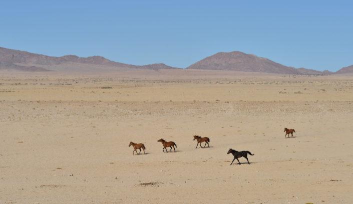 Wildpferde Namibia in der Namib Wüste