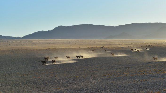Wildpferde Namibia auf dem Weg zum Wasserloch mit goldenem Staum