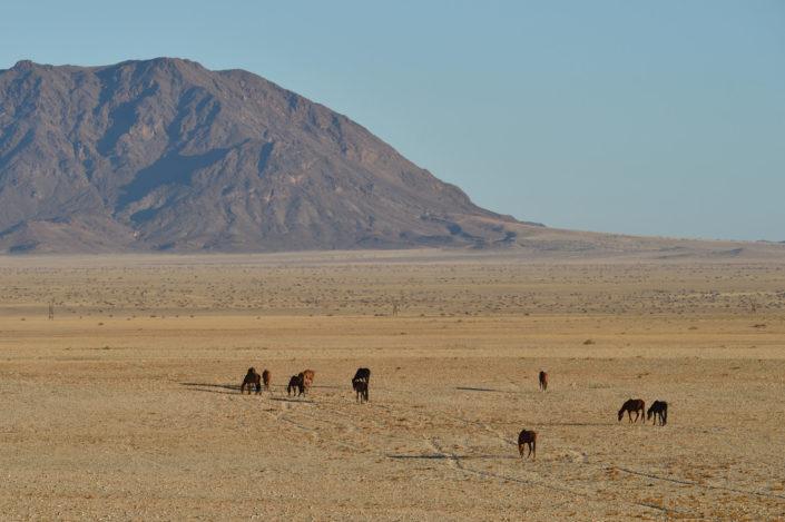 Wildpferde Namibia vor dem Dikwillem