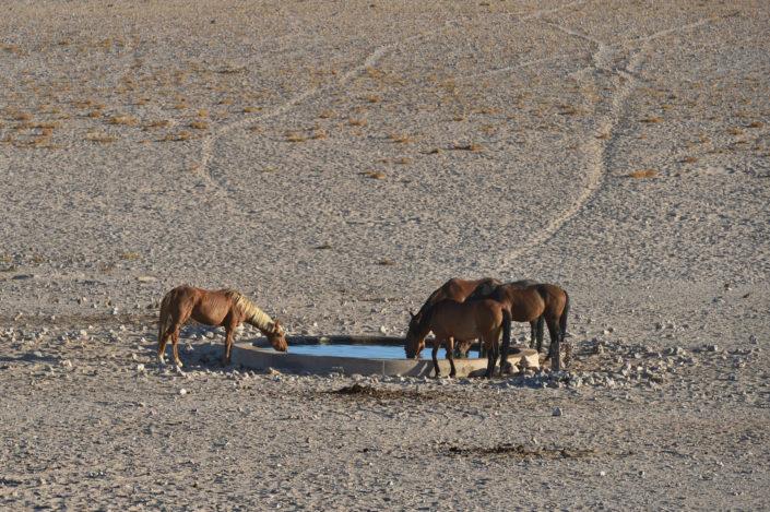 Die Wildpferde Namibia der Namib sind vom Aussterben bedroht