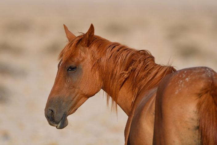 Portrait eines Wild Horse in Garub, Namibia