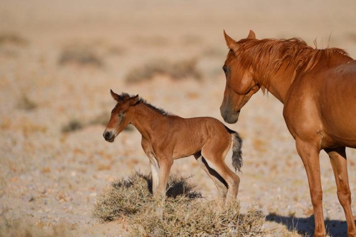 Stute und Fohlen in der Namib Wüste