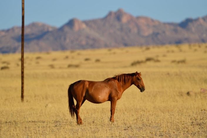 Garub Wild Horse, Namib Naukluft Park, Namibia