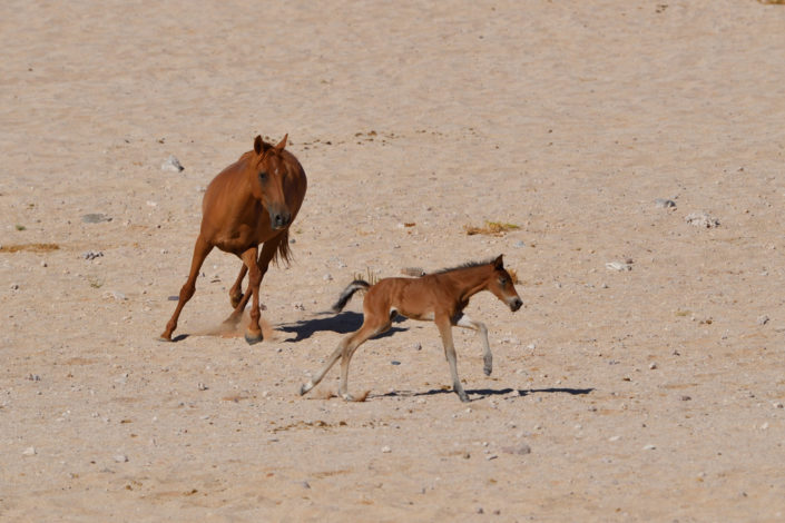 Garub Wild Horses, Stute mit Fohlen