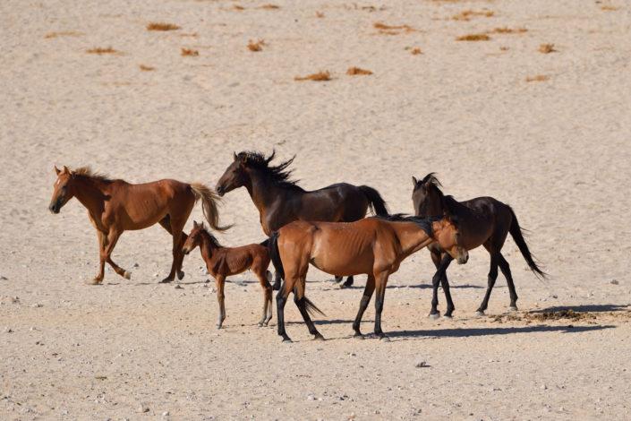 Wild Horses, Garub, Namibia