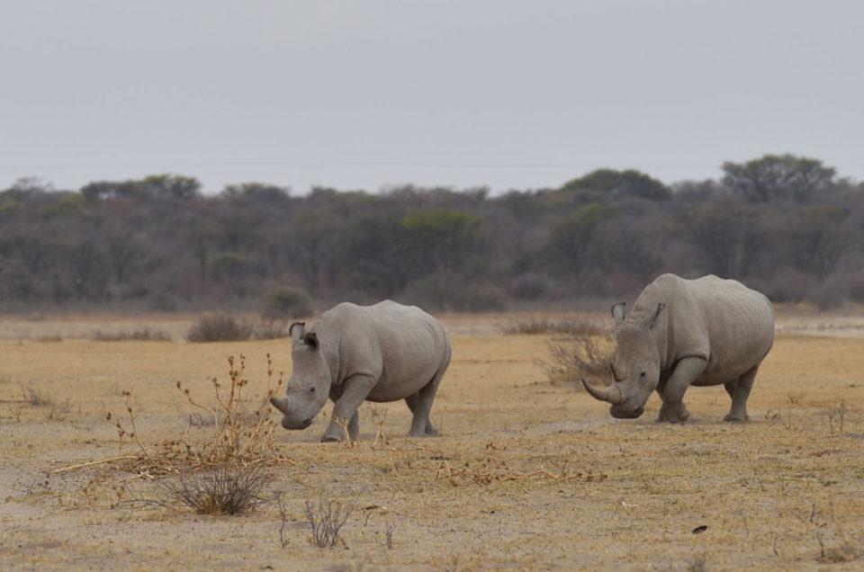 Nashorn Mutter mit Sohn