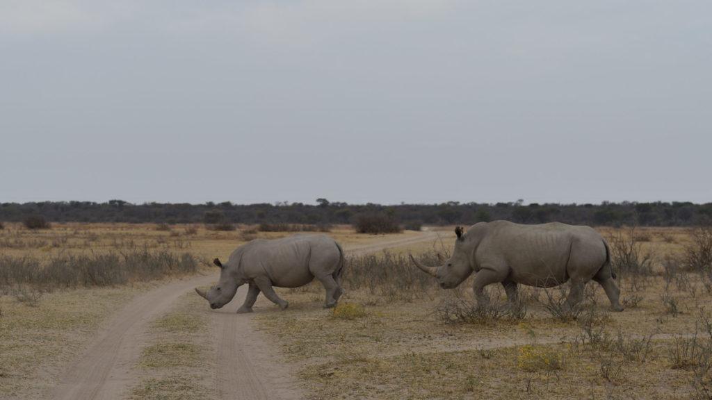 Nashörner marschieren über die Strasse
