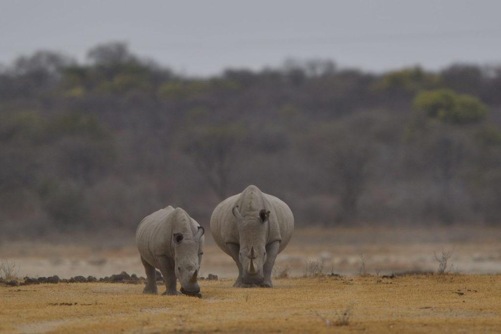 Breitmaul-Nashörner im Khama Rhino Sanctuary