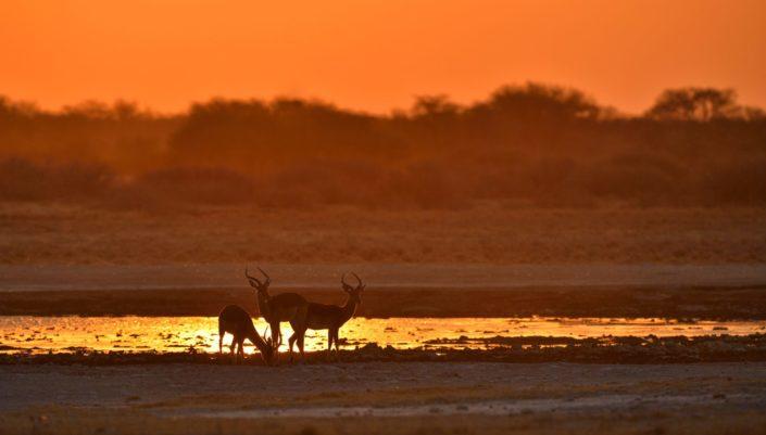 Impala Böcke im rotgoldenen Licht
