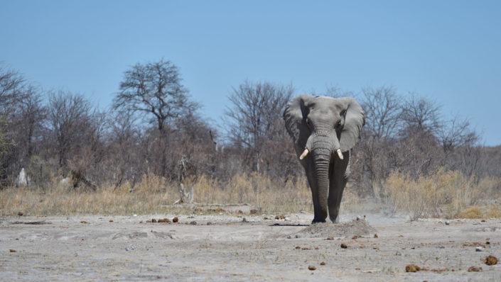 Elefant läuft auf uns zu