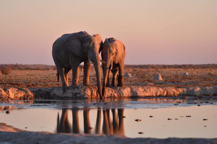 Zwei Elefanten saufen zusammen Wasser