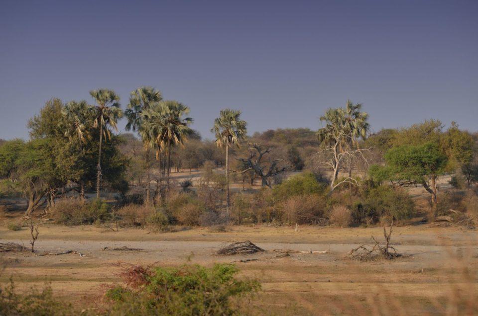 Palmen am Boteti River