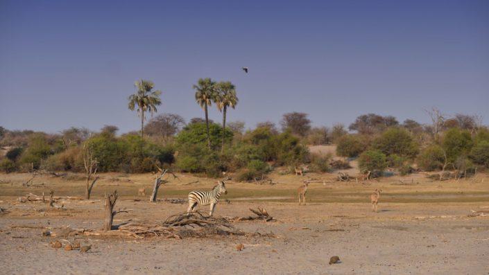Zebras und Kudus am Boteti