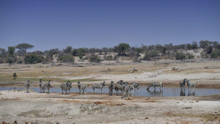 Zebras am Boteti Wasserloch
