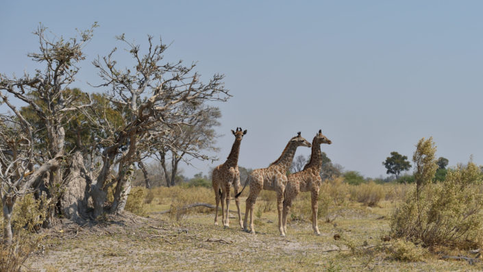 Drei junge Giraffen