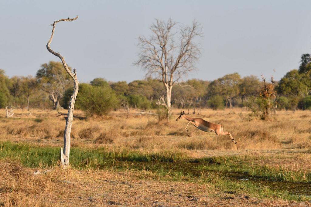Fliegendes Impala