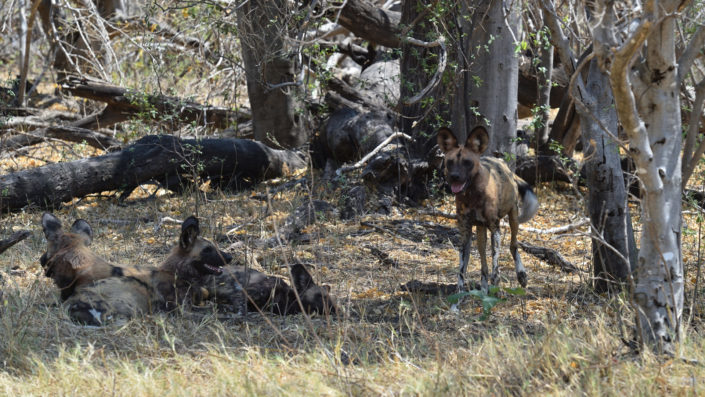 African Wilddogs