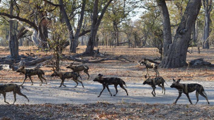 Khwai Camp, Wild Dogs auf der Jagd