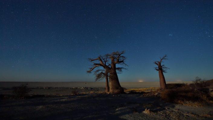 Baobabs im Mondschein