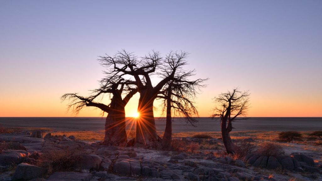 Baobab Gruppe bei Sonnenaufgang