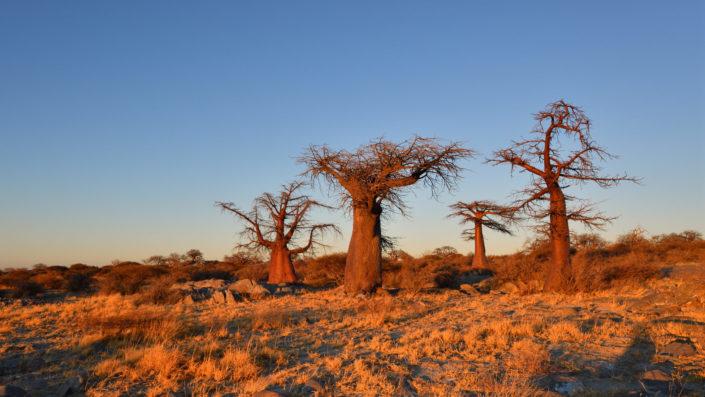Baobabs im goldenen Morgenlicht
