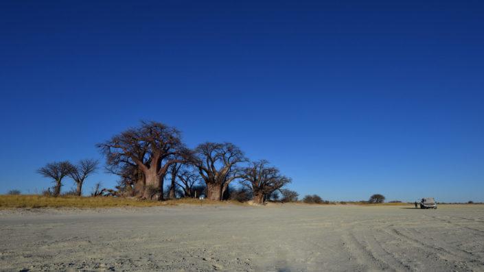 Baobab Bäume unter blauem Himmel