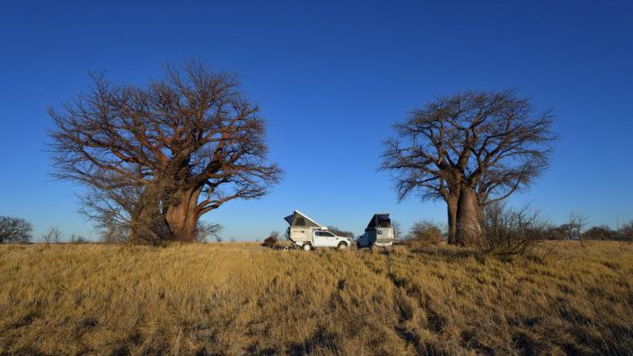 Zwei Ford Ranger zwischen zwei Baobabs