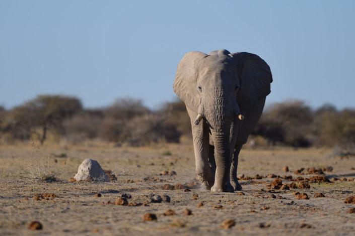 Elefant marschiert direkt auf die Kamera zu