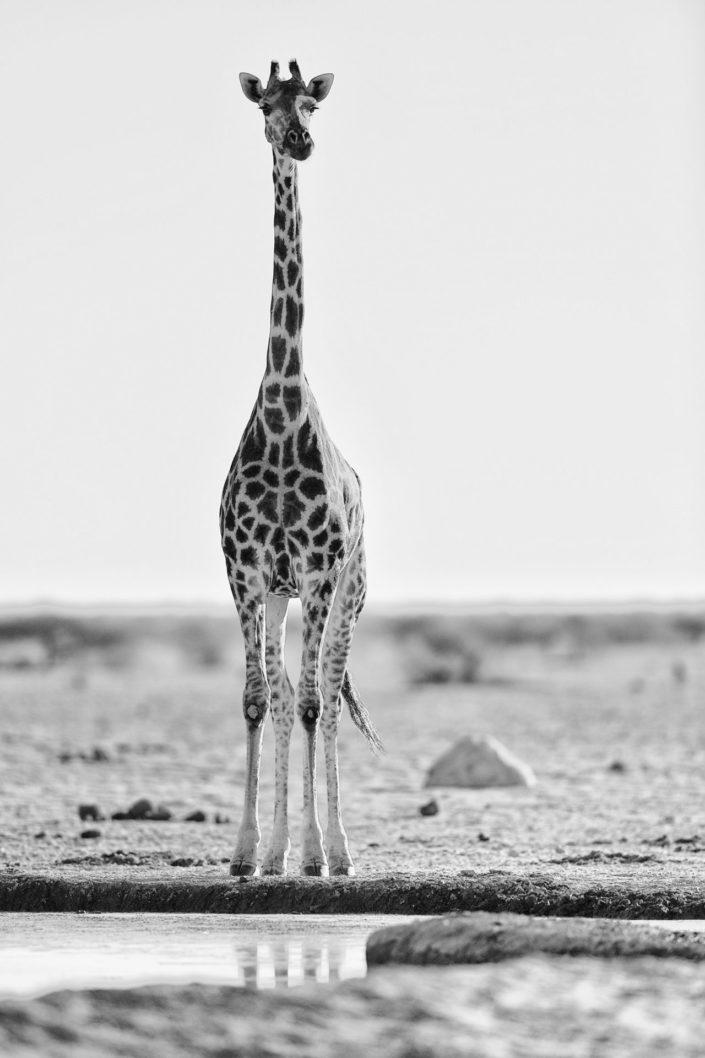 Giraffe steht am Nxai Pan Wasserloch und beobachtet die Umgebung