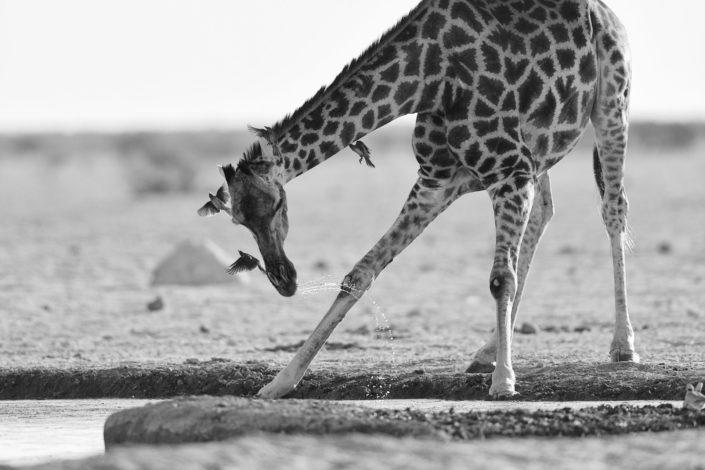 Giraffe mit Vögeln beim Trinken