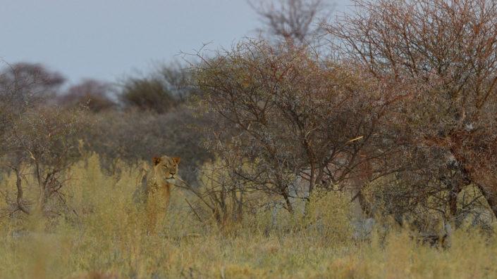 Löwe in den Büschen