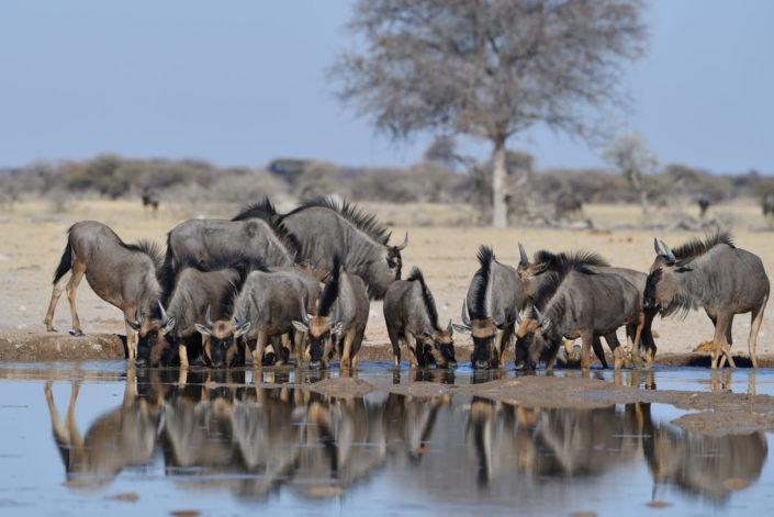 Gnu-Gruppe am Nxai Pan Wasserloch