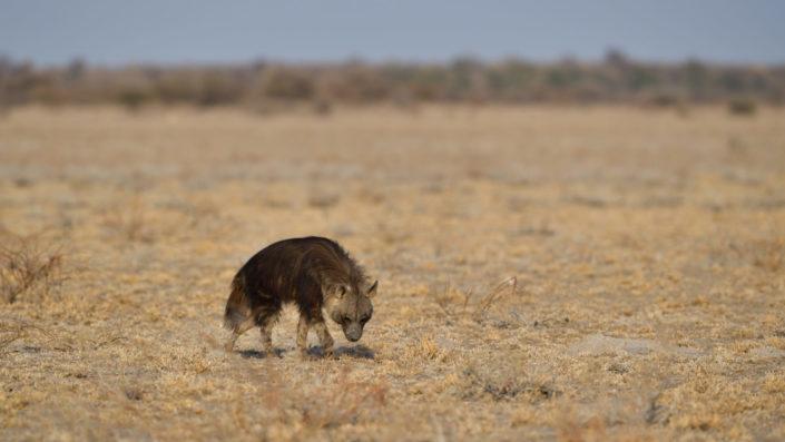 Braune Hyäne auf der Sunday Pan