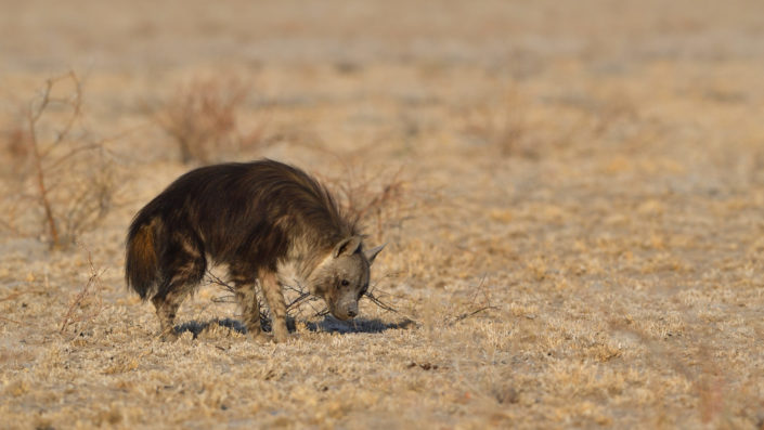 Brown Hyena, Central Kalahari Game Reserve