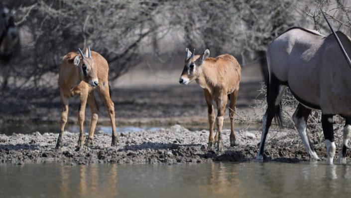 Zwei junge Oryx