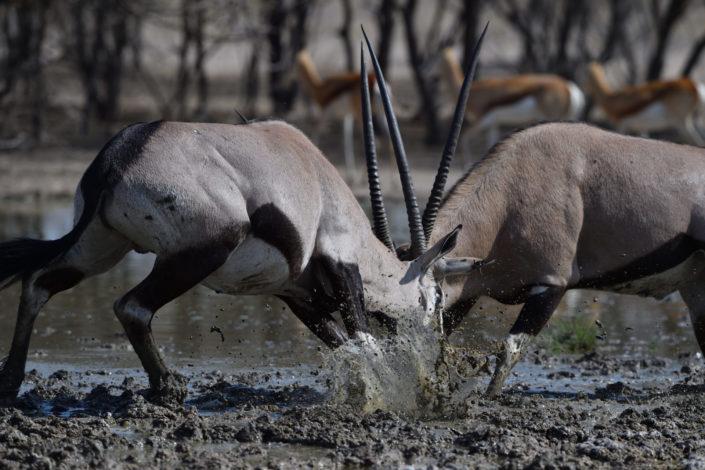 Zwei Oryxbullen knallen ineinander
