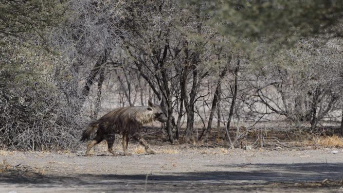 Braune Hyäne nähert sich dem Wasserloch