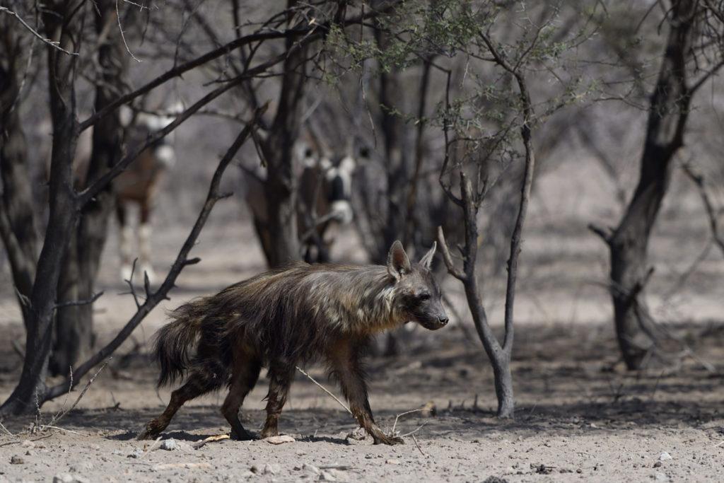 Zwei Oryx beobachten eine braune Hyäne
