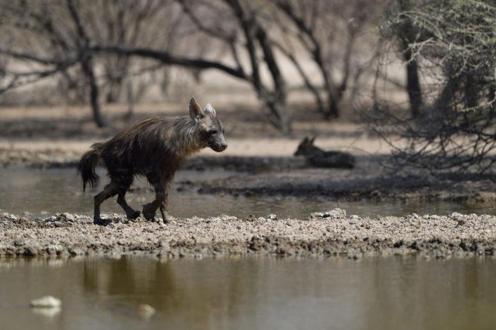 Braune Hyäne erreicht das Wasserloch