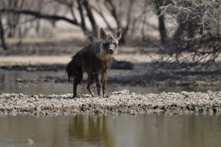 Braune Hyäne steht am Wasserloch