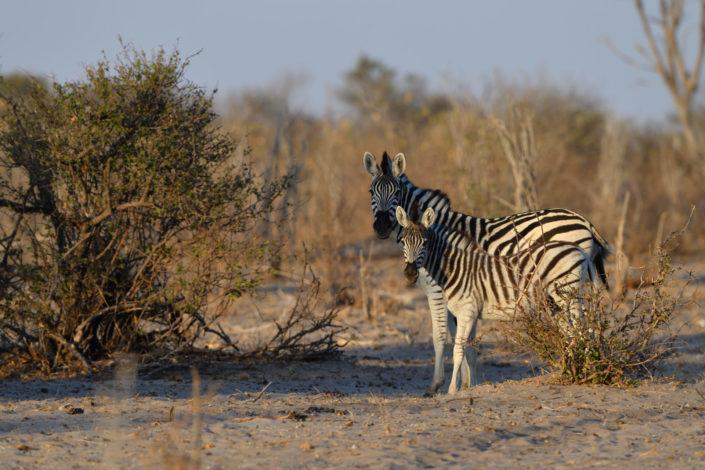 Zebra Mutter mit Kind
