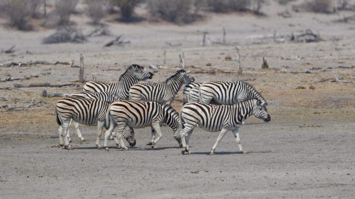 Neun Zebras am Boteti