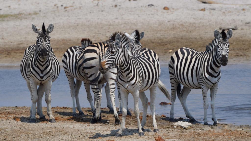 Zebragruppe am Wasserloch des Boteti