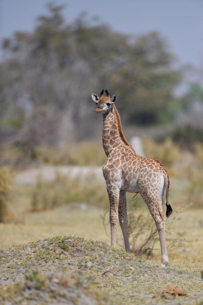 Giraffen Baby