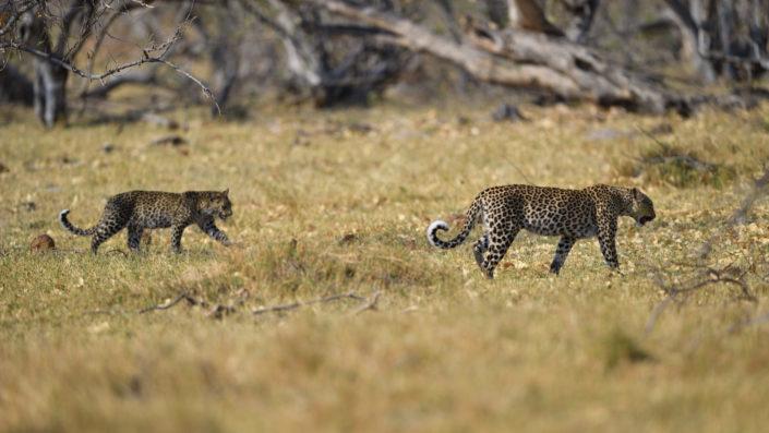 Leopard mit Jungem