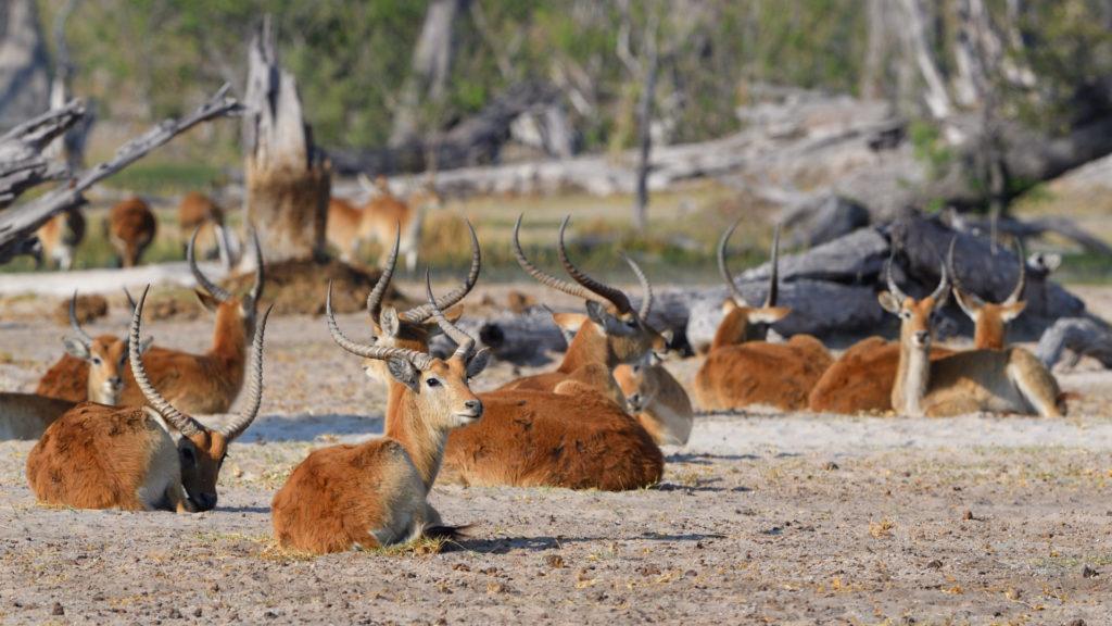 Letschwe Antilopen in den Paradise Pools, Moremi