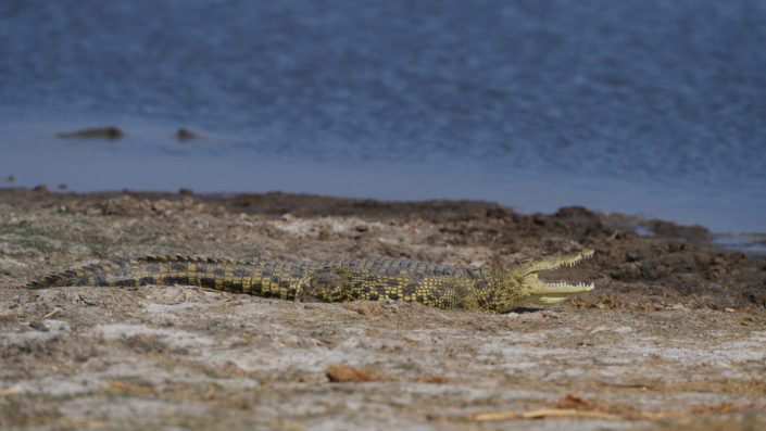 Krokodil mit offenem Maul tankt Wärme beim Dombo Hippo Pool