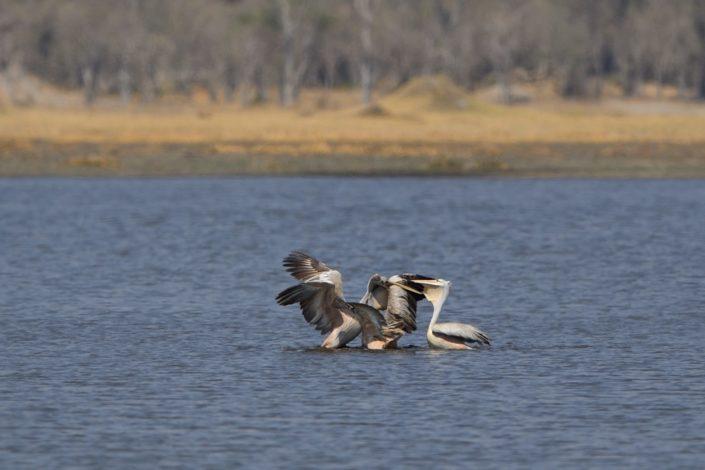 Drei Pelikane kämpfen