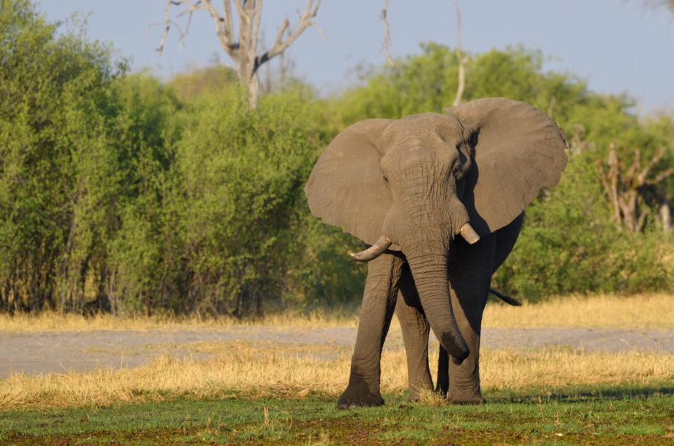 Elefant in der Nähe der Magotho Campsite