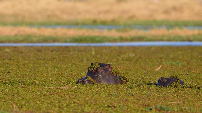 Hippos im Pool mit grünen Wasserpflanzen